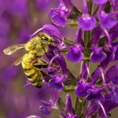 USA, Colorado, Bee in Midnight Salvie