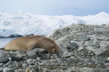 Seal lying on rocks