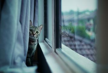 Malaysia, Selangor, Kota Damansara, Cat staring behind curtain