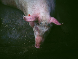 Italy, Picture of pig
