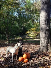 Two dogs by pile of pumpkins in woods