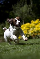 UK, Peterborough, Thorney, View of happy running dog