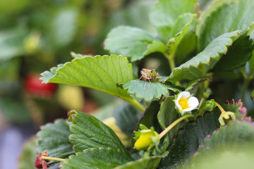 Small cricket on strawberry plant