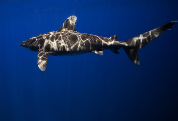 Bahamas, Oceanic whitetip shark
