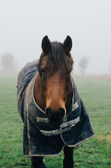 Netherlands, Zeeland, Ritthem, Foggy horse with horsecloth standing in misty meadow