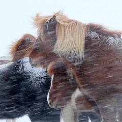 Iceland, Capital Region, Reykjavik, Horses in storm