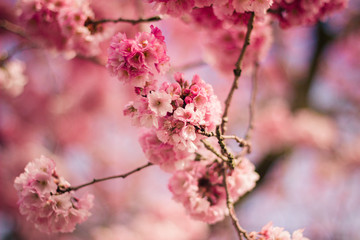 Holland, Netherlands, Beautiful Pink Blossom