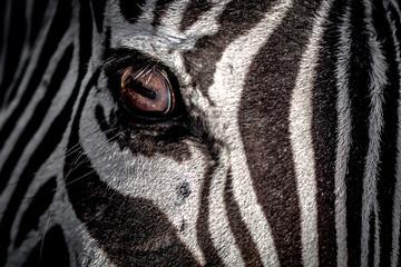 USA, Eye of zebra