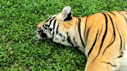 Tiger lying down, Southeast Asia