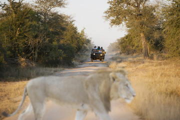Jeep with tourists on safari, lion in foreground