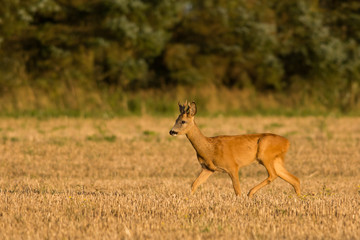 Roe Deer buck walking through crop field
