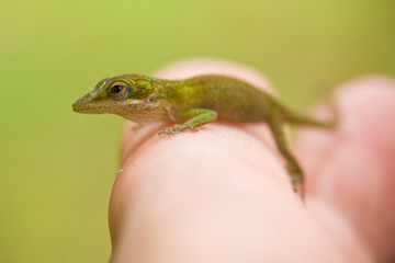Northern Mariana Islands, Rota Municipality, Rota, Baby Gecko on hand