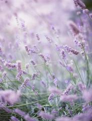 Provence, France, Lavender In Provence