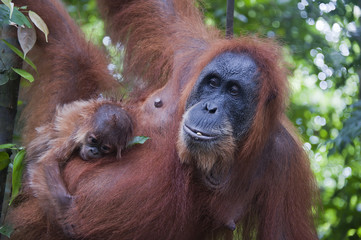 Sumatra, Orangutan with child hanging out on tree