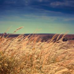 Reed grass field