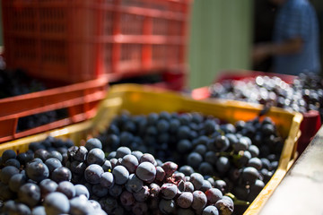 Italy, Stroncone, Grapes in plastic trays
