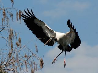 USA, Florida, Orange County, Orlando, Wood Stork (Mycteria americana) in flight
