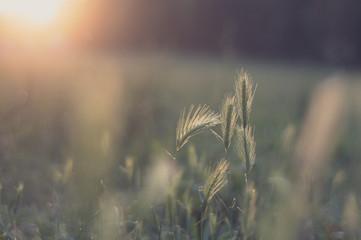 Italy, Emilia-Romagna, Bologna, Close up shot of mouse barley at sunset