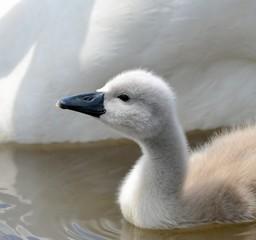 United kingdom, England, White cygnet on water