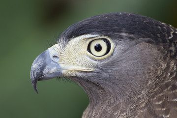 The sharp-eyed hawk, closeup