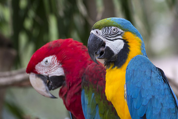 Couple of the colorful macaw