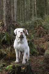 UK, England, West Midlands, Stoke-on-Trent, Hanchurch Woods, White Bulldog standing on tree stump in woods