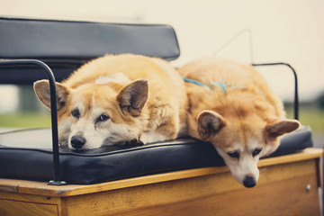 USA, Pennsylvania, Picture of two corgis lying on bench of carriage