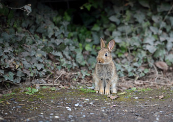 Hare sitting by ivy hedge