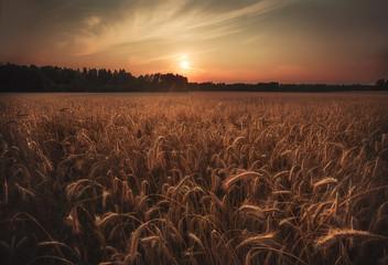 Finland, Helsinki, Barley field