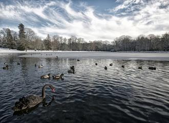 UK, England, Surrey, Birds on frozen lake