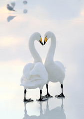 Iceland, Capital Region, Reykjavik, View of two swans