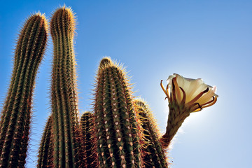 USA, Arizona, Maricopa County, Arlington, Upward view of cactus ( Trichocereus Spachianus ) known as Golden Torch