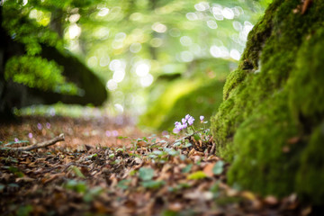 Surface-level shot of lilac cyclamen flower growing by mossy rock