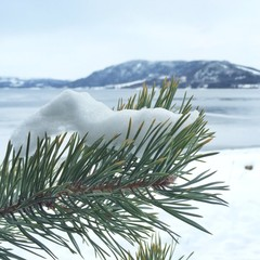 Close up of snow on pine tree