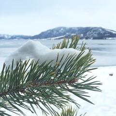 Close up of snow on pine tree