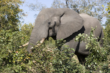 African elephant in wild