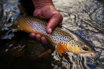 USA, Colorado, Hinsdale County, Lake City, Fisherman releasing Brown Trout into river