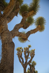 USA, View of Joshua trees