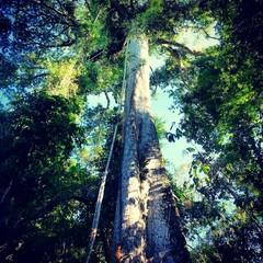 Brazil, North Region, Samauma tree