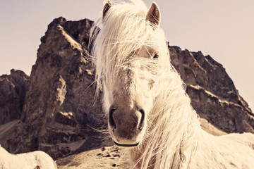 Iceland, Horse with cliff in background