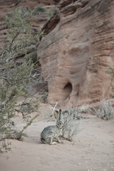 Rabbit in desert