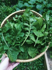 Basket of freshly picked arugula