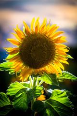 Japan, Okinawa, Backlit sunflower with sunset