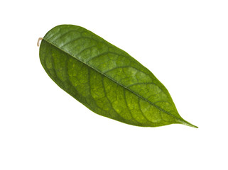 Durian leaf isolated on white