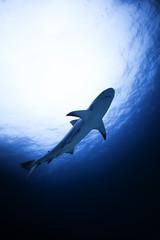 Bahamas, Nassau, Reef shark