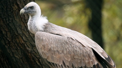 Vulture in zoo looking