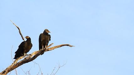 Black Vultures 2