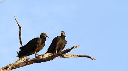 Black Vultures 3