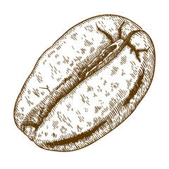 engraving antique illustration of coffee bean