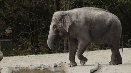 Wide angle shot of an animal elephant in captivity walking on a sand.